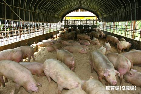 新しいオガクズを入れた豚舎